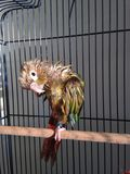 A Wet Baby Green-Cheeked Parakeet after Taking a Bath. Stock Photography