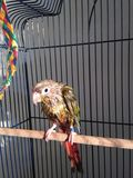 A Wet Baby Green-Cheeked Parakeet after Taking a Bath. Stock Image