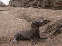 Wet Baby Sea Lion Stock Image