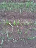 Wet balk. With onion and garlic seedlings Stock Photography