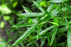 Wet bamboo leaves. On blurred background Stock Photography