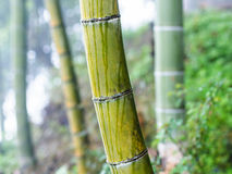 wet bamboo trunk close up in mist rainforest Stock Photo