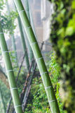 Wet bamboo trunk in Tiantou village Stock Photography