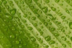 Wet banana leaf Royalty Free Stock Images