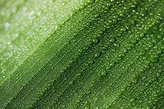 Wet Banana Leaf. Close-up of a banana leaf with fine structure and small water droplets Royalty Free Stock Image