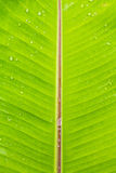 Wet banana leaf after rainny Stock Photos