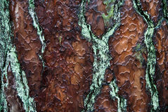 Wet bark of Pine Tree. Stock Photos