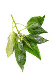 Wet basil leaves Stock Photography
