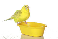 Wet, bathed parrot Stock Photos