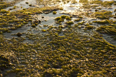 Algae Rock Stock Images