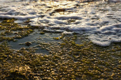 Algae Rock & Surf. Wet beach rock covered with seaweed and partially overtaken by wave surf, back lit by late afternoon sun Royalty Free Stock Image