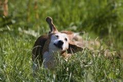 Wet Beagle dog shaking Stock Image