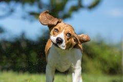 Wet Beagle dog Stock Photos