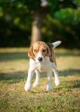 Wet Beagle dog shaking Stock Photography