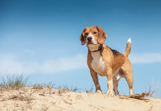 Wet beagle standing on the sand hill Stock Photos