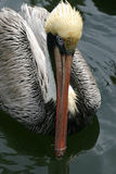 Wet Beaked Pelican Stock Photo
