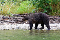 Wet Bear. A grizzly, or brown, bear walking by a river looking for salmon Stock Image