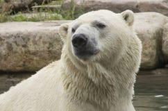 Wet Bear Royalty Free Stock Photography