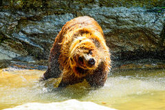 Wet bear. In the wild Royalty Free Stock Images