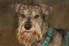 Wet bearded dog portrait. A cold, wet, miniature schnauzer dog stops and gazes into the camera royalty free stock image