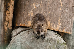 The wet beaver got out of the water Stock Photos