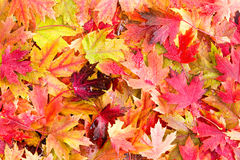 Wet Bed of Fallen Autumn Leaves on the Ground Royalty Free Stock Photo