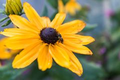 Wet Bee on Yellow Flower. Bee working on yellow dandelion. Sunflower blooming in a field Stock Photo