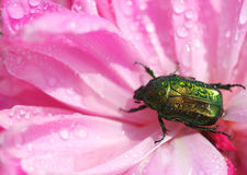 Wet beetle Royalty Free Stock Photography
