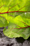 Wet beetroot leaves Royalty Free Stock Photos