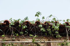 Wet belade med tegel taket som täcktes, genom att klättra växtcloseupsikt Royaltyfria Bilder
