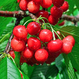 Wet berries of sweet cherries Royalty Free Stock Images