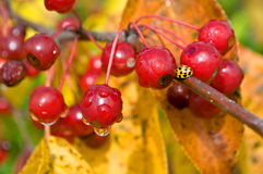 Wet Berry and Lady Beetle Royalty Free Stock Photos
