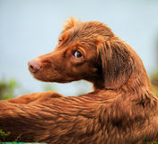 Wet bird dog Royalty Free Stock Image