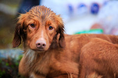 Wet bird dog Stock Images