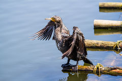Wet bird Stock Photography