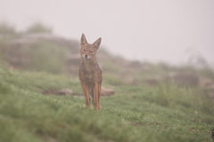 Wet black backed jackal standing in the rain and fog Stock Images