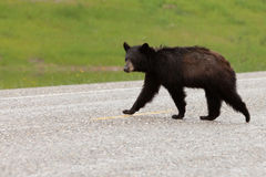 Wet Black Bear Ursus americanus crossing road Royalty Free Stock Photo