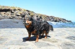 Wet Black Dog Royalty Free Stock Photography
