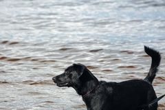 Wet black dog in the water royalty free stock photography