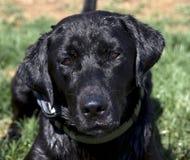 Wet Black Labrador. Black Lab Laying in Grass Stock Image