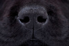 Wet black labrador puppy's nose Royalty Free Stock Photography