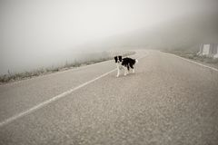 Wet black and white dog border collie stand on road in fog royalty free stock photography