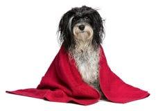 Wet black and white havanese dog after bath Stock Image