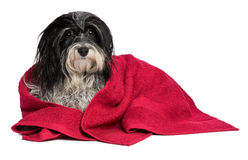 Wet black and white havanese dog after bath Royalty Free Stock Photo