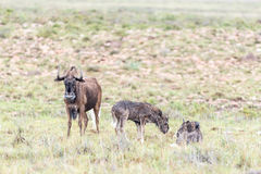 Wet black wildebeest cow and calves Royalty Free Stock Image