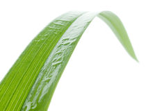 Wet blade of grass. Wet green blade of grass isolated on white background Stock Photography