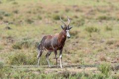 Wet blesbok in the Mountain Zebra National Park Stock Photos
