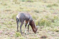 Wet blesbok in the Mountain Zebra National Park Royalty Free Stock Photos