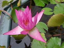 Wet blooming waterlily in crystal clear water Royalty Free Stock Image