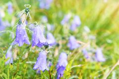 Wet blue flowers bluebell. S with water drops on the green field. Macro shot Royalty Free Stock Photo
